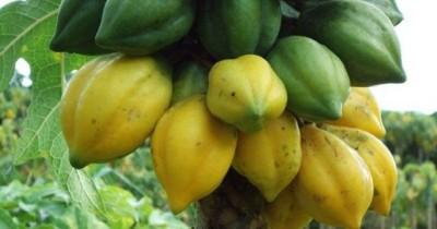 5 Manfaat Mengonsumsi Carica, Bisa Mencegah Kanker Payudara