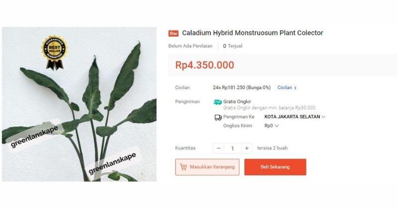3. Jenis bunga keladi mahal hingga Rp 4.3 juta