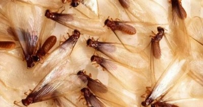 5 Fakta Ilmiah Laron, Spesies Hewan Siklus Hidup Tragis