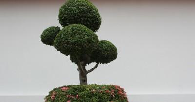 7 Jenis Bonsai Cantik bisa Menghias Rumahmu