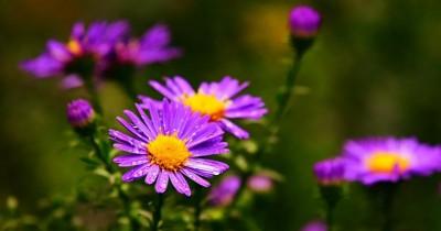 Ternyata Bunga Aster Memiliki 5 Manfaat Baik Kesehatan