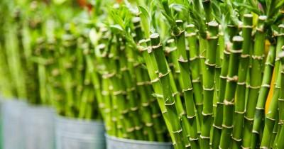 Tanaman Pembawa Keberuntungan, Ini Dia 5 Mitos Bambu Hoki