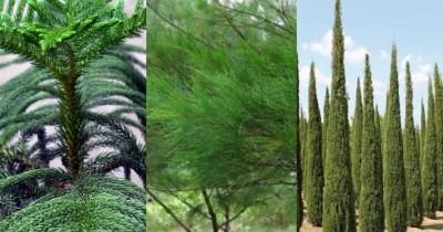 Jadi Ikon Hari Natal, Ini 8 Jenis Pohon Cemara Perlu Kamu Tahu