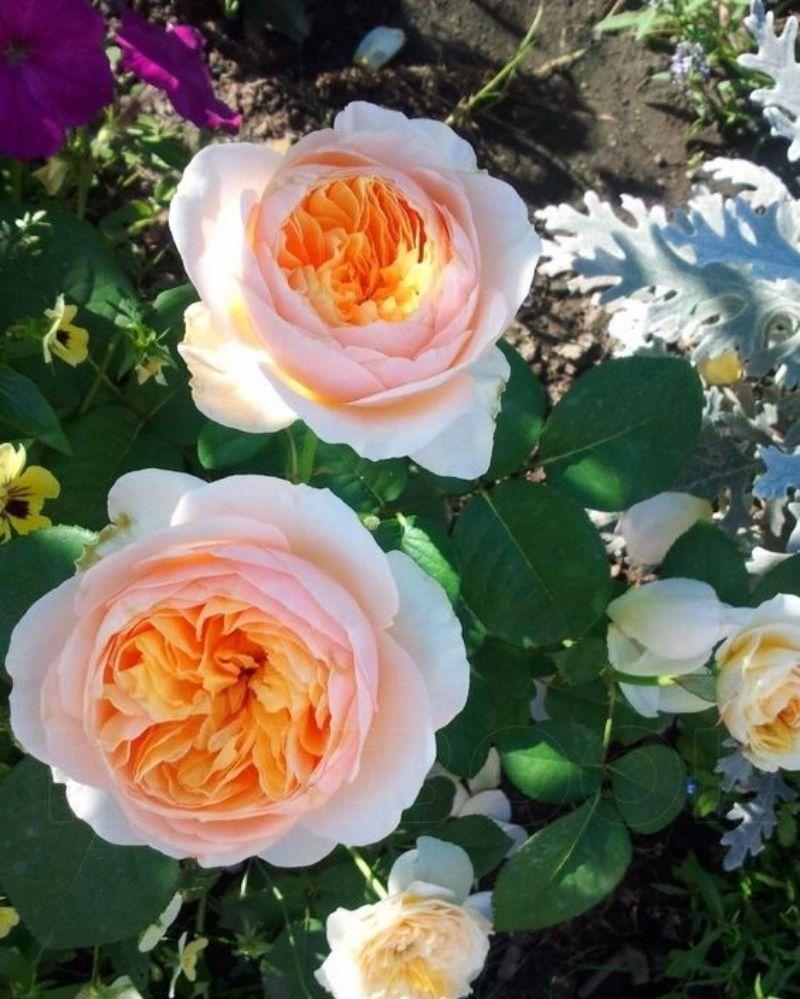 1. Bunga Juliet Rose - Rp 57 miliar