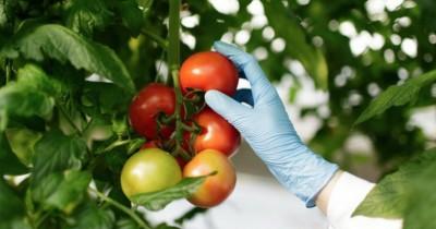 Kaya Nutrisi, Ini Manfaat Tomat Kesehatan Bayi