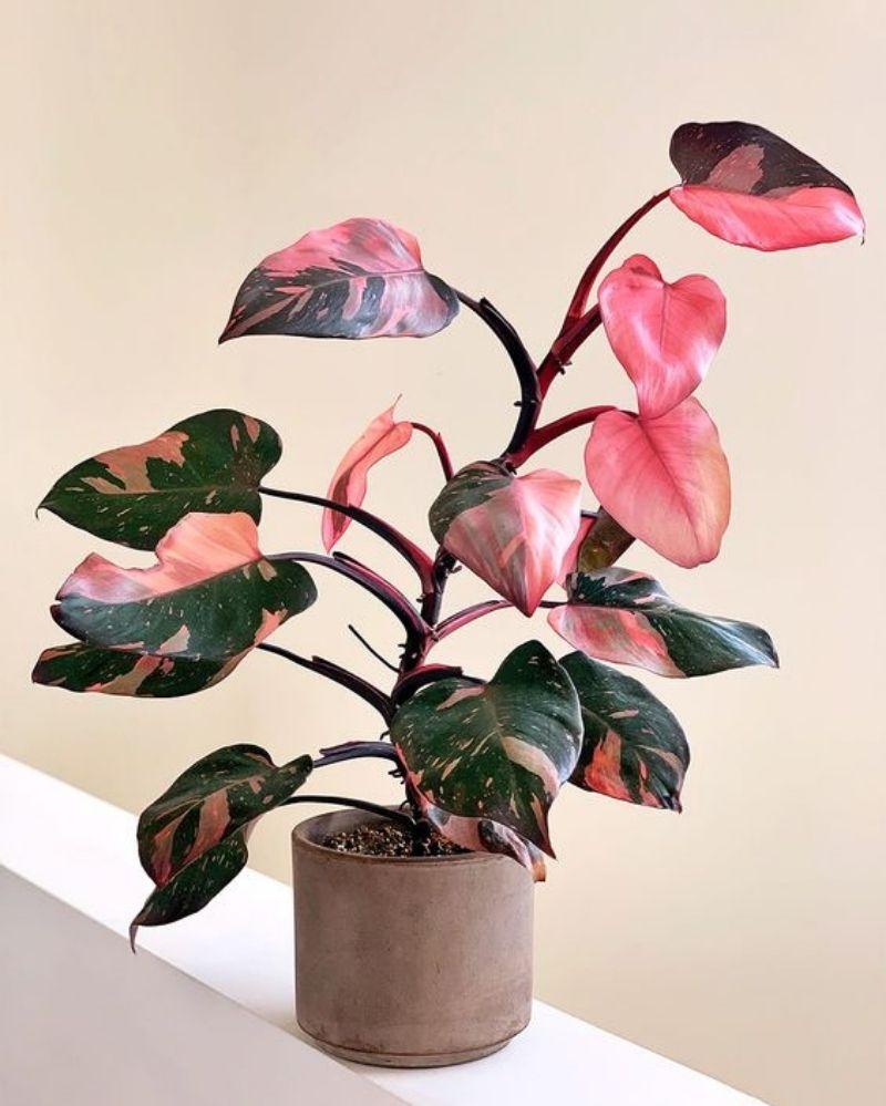 1. Mengapa tanaman hias philodendron mahal