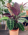 7. Tanaman calathea ornata