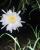 6. Bunga Naga, selain buah bisa dimakan berkhasiat, bunga juga tumbuh mekar malam hari