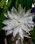 2. Night Blooming Careus mekar malam hari aroma mistikal