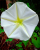 3. Bunga Morning Glory, salah satu spesies ada mekar malam hari