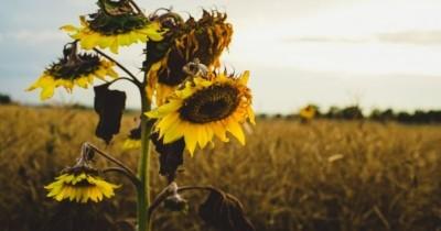 5 Cara Mengatasi Tanaman Layu