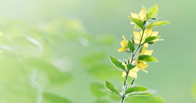 7 Tanaman Hias Berdaun Kuning Cerah Indah