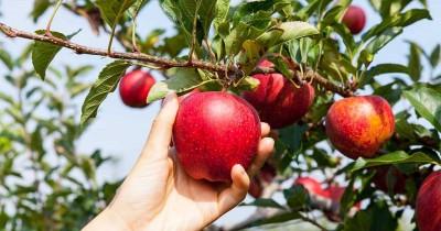 14 Manfaat Apel Ibu Hamil Harus Diketahui
