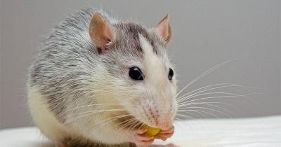 Rumah Bebas Tikus, Letakkan Bahan Alami Pengusir Hewan Ini di Rumah