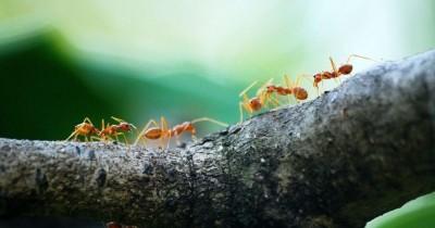 5 Cara Ampuh Menghilangkan Semut Rangrang