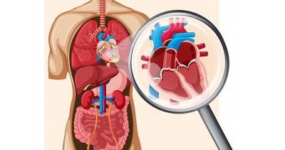 Organ Vital Tubuh, Kenali Bagian Jantung Fungsi-Fungsinya