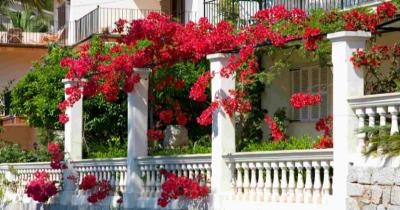 Mudah Tumbuh Rumah, Ini 7 Jenis Tanaman Merambat Tahan Panas