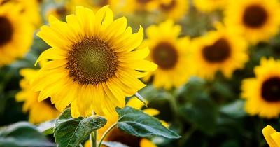 5 Cara Merawat Bunga Matahari Benar Pemula