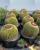 3. Barrel cactus (kaktus barel) sering ditemukan ternyata bisa dikonsumsi