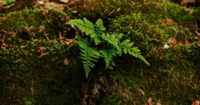Ciri-ciri Tumbuhan Paku, Struktur Contohnya