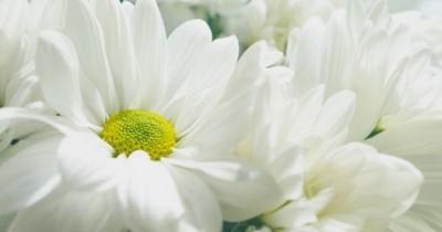 6 Tanaman Hias Berbunga Putih Mempercantik Ruangan